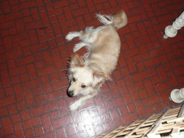 Sparky: A rescued Bajan Dog