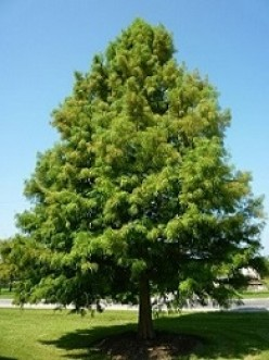 Bald Cypress is State Tree of Louisiana