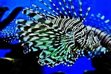 Lovely Lion fish