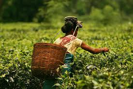 Tea leaves are being plucked from plants to be dried and used.