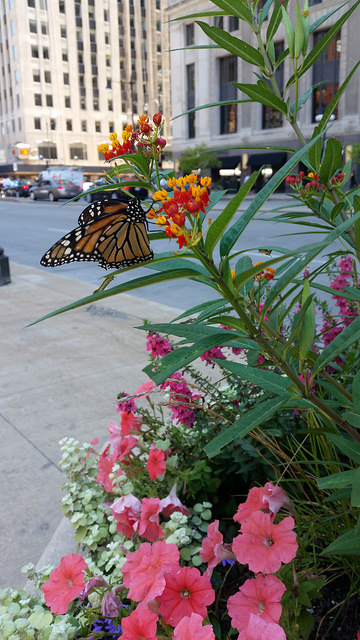 Monarch visiting a bloom in downtown Chicago on a summer's afternoon.