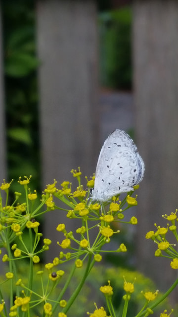 Summer Azure butterfly visiting a dill flower