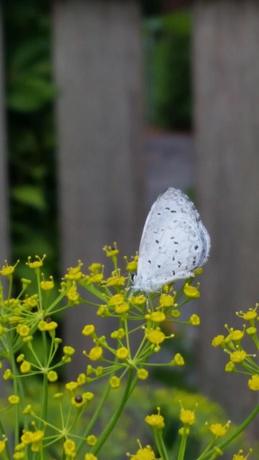 Summer Azure butterfly visiting a dill flower