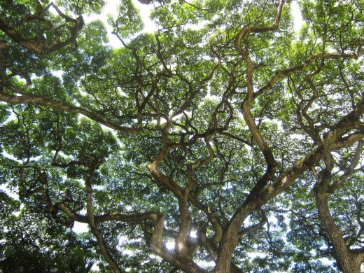 Many of the walking paths in the Waimea Valley Park and Botanical Garden wind underneath a shady canopy of trees.