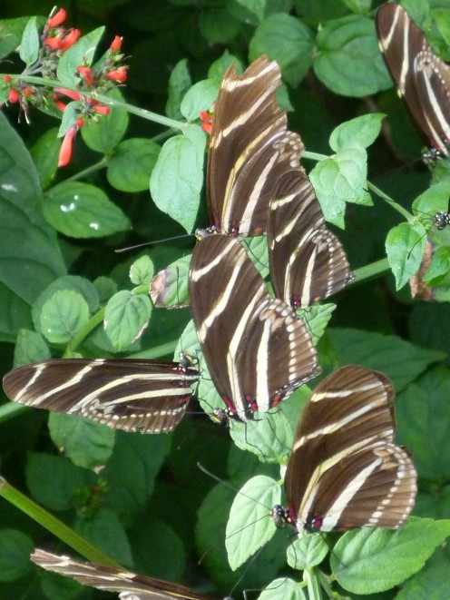 Heliconius Charithonia Zebra butterflies