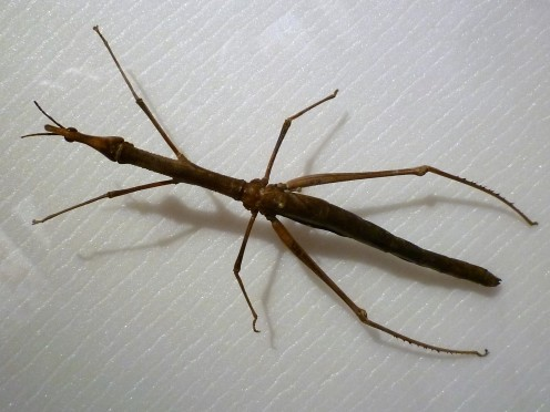 Phasmatodea Insect