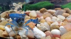 Electric Blue Crayfish Care