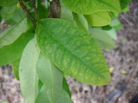 Coca leaves where cocaine is processed