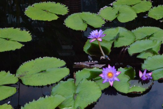 I loved seeing these beautiful water lilies in the pond.  This garden has some of the most outstanding I have ever seen.