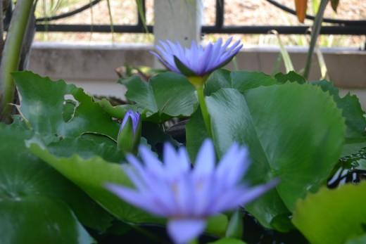 Beautiful water lilies.