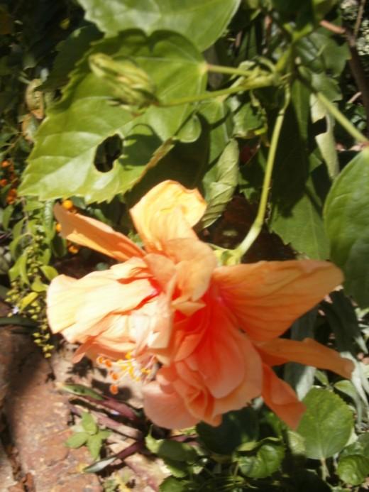 orange double Hibiscus