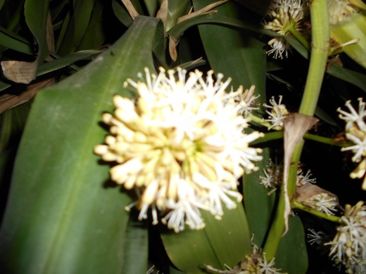 Flower of Dracaena fragrans, The perfume of this shrub is wonderful!!!