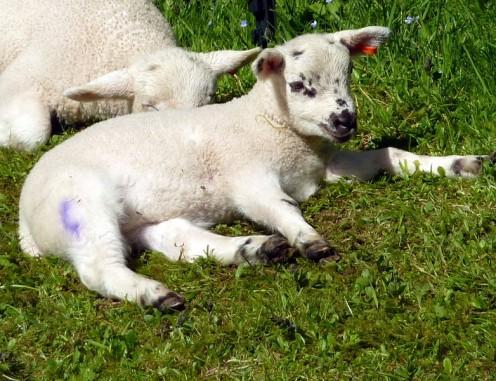 Spring lambs sunbathing.