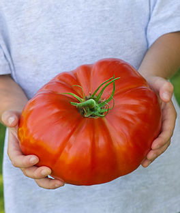 Will I grow a tomato such as this?