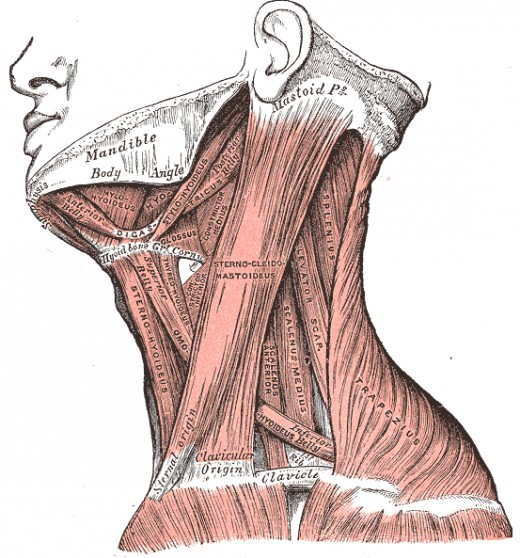 A drawing of the skeletal muscles of the neck.