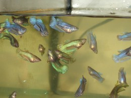 Baby bettas - almost adult size