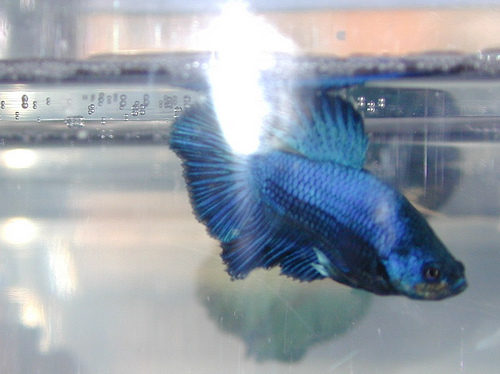 Royal blue betta - father of the next generation of baby bettas