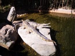 Freshwater crocodile, Adelaide Zoo