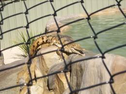 Freshwater crocodile, Lone Pine, Brisbane