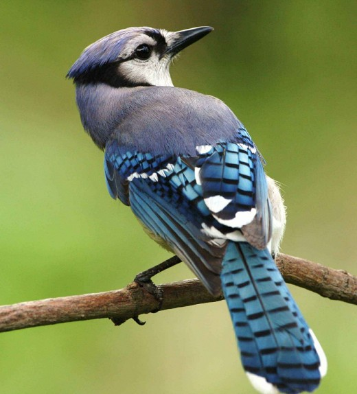 Noisy blue jays (Source:Pixabay.com)