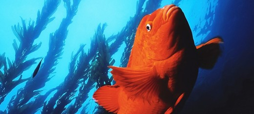 Garibaldi - The Garibaldi is the California state marine fish and is so bright that on clear days they can be seen from Laguna bluffs flashing through the water. Photo: Joseph Dovala
