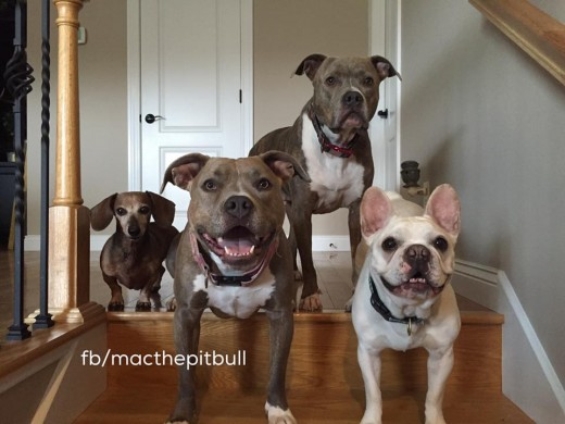 Peanut, Zayda (or Fat Stack) Dibs the Frenchie who as another foster failure and Mac