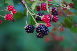 Facial Oil Benefits: Blackberry Seed Oil