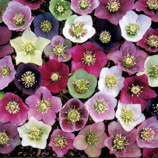 A colorful array of Lenten Roses