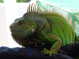Green Iguanas For Sale
