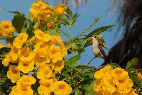 The hotels near Goose Island State Park plant Yellow Bell heavily to attract hummingbirds.