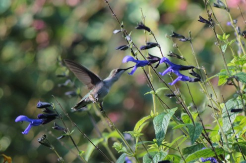 Black and Blue Salvia makes for happy Hummingbirds