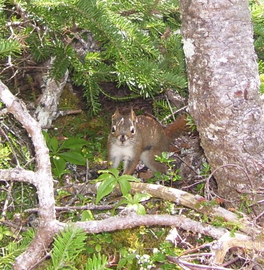 A curious squirrel peeks out from a tree along the Skerwink Trail.
