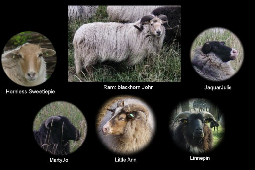 The color of ram Blackhorn John is called Mixed Fox