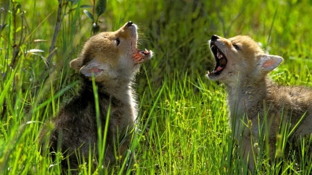 Pups Howling