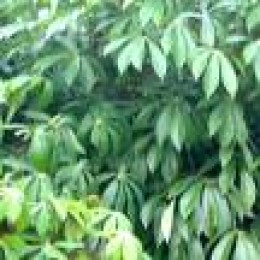 Casava leaves