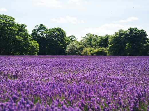 I find Lavender calming - just look how beautiful it is