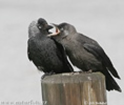 Jackie the Jackdaw: Childhood Friend I Have Never Forgotten