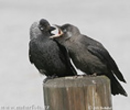Jackdaws are very affectionate with family members.