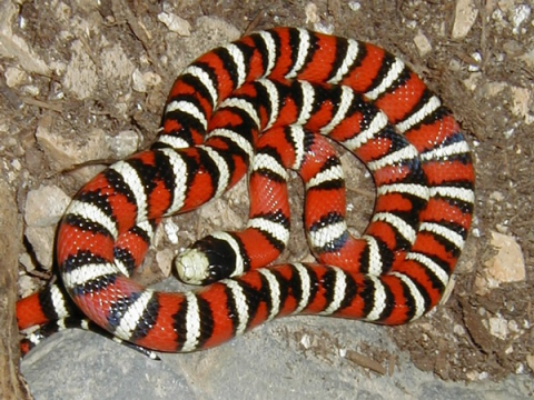 The Mountain King Snake makes a good snake for beginners who want a snake for a pet.
