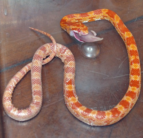 The Corn Snake may look dangerous, but in reality, it is a docile serpent who likes solidarity and lots of petting.