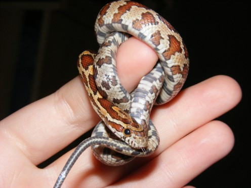 A myth says that a Corn Snake during shedding when it is finished shedding its old skin, will then bite you. This is only a myth.