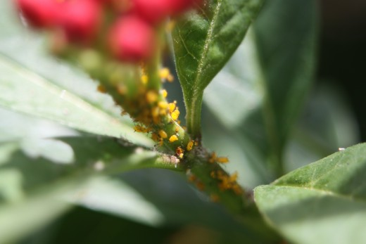 Aphids (Aphididae) in my flower garden on a milkweed (Asclepias)