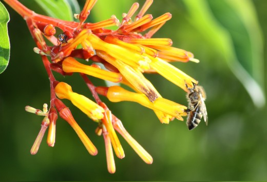 Honey Bee (Bombus angustus) & common housefly (Musca domestica) in my flower garden firebush shrub (Hamelia patens)