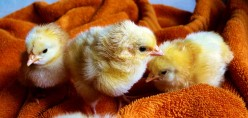 Simple Ways To Care For Your Pet Chicken