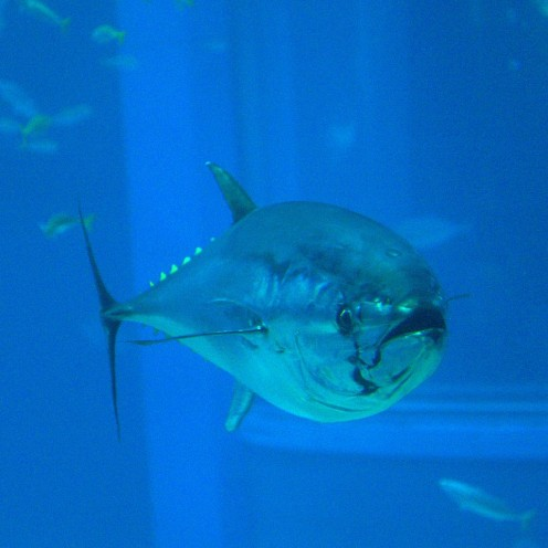 Pacific Bluefin Tuna. Fish can make a flavorful substitute for some other ingredients.