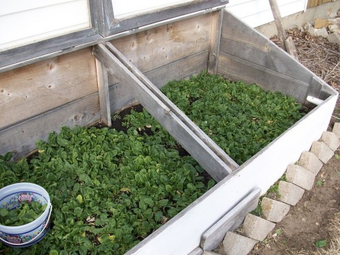 Spinach growing in a cold frame.