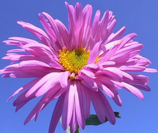 Aster flower by Luigi FDV on flickr