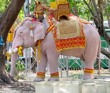 Captured female white elephant in Burma