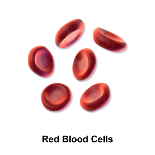 Red blood cells transport oxygen to the body cells. The cells need the oxygen in order to make use of food.