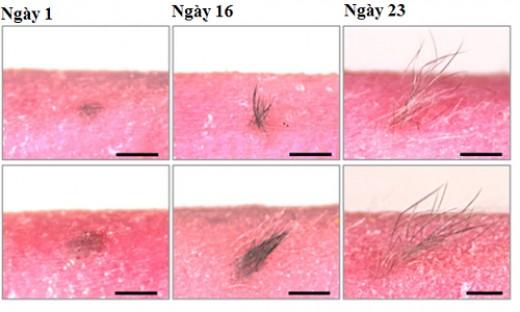 Skin implants that undergo the process of hair like normal skin. Photo: Takashi Tsuji/Riken.